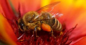 ApisProtect honey bee on orange flower