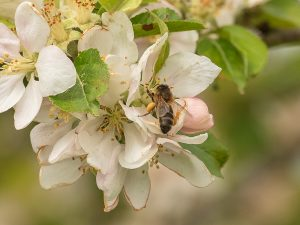 Honey Bee on Apple Blossom ApisProtect May 2019 Photo Credit Jonathan Fleury 2
