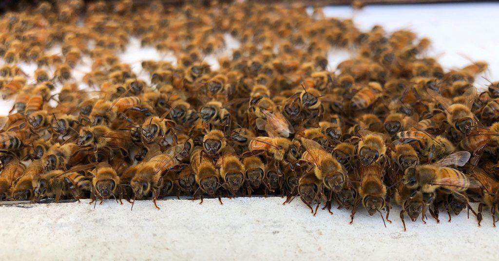 Honey Bees North America ApisProtect