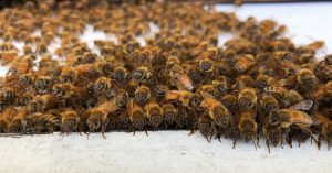 Honey Bees North America ApisProtect