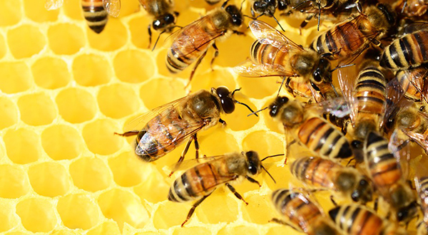 This image has an empty alt attribute; its file name is Honey-bee-ApisProtect.png
